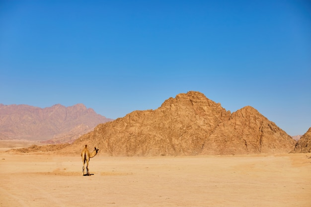 One camel stay on a desert land with blue sky on the. Premium Photo