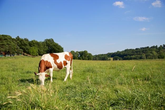 One cow grazing Premium Photo