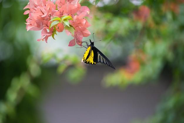 Одна бабочка-монарх сидела на желтых и оранжевых цветках бугенвиллеи и пила нектар. Premium Фотографии