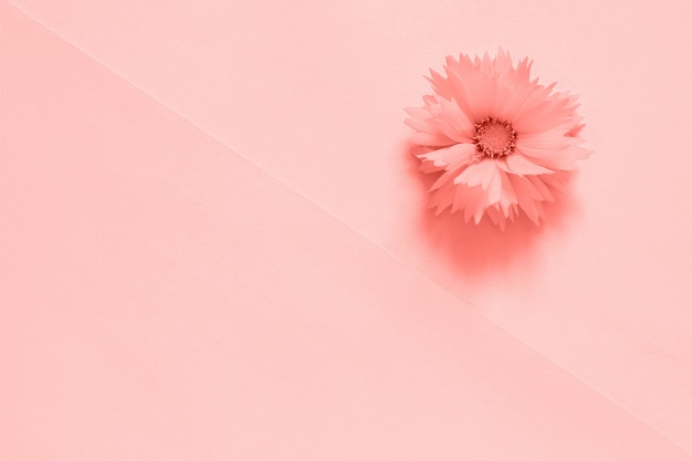 One pink flower on paper background toned trendy coral color of the year 2019, Premium Photo
