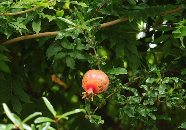 One red pomegranate fruit growing among green foliage Premium Photo