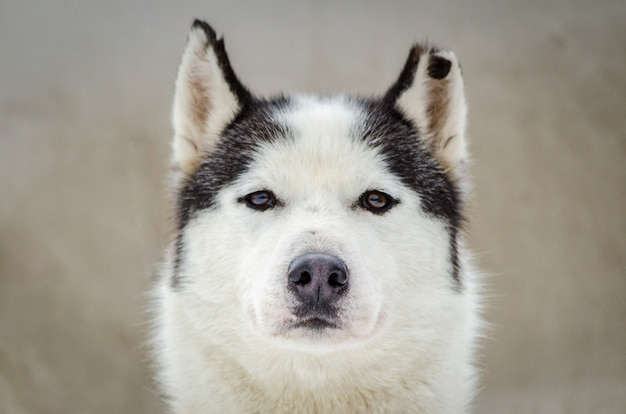 One siberian husky dog portrait with chewed ear. close up husky Premium Photo