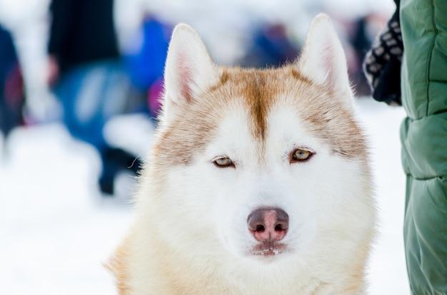 One siberian husky dog with blue eyes looks around. close up hus Premium Photo