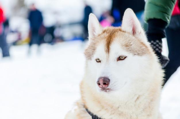 One siberian husky dog with blue eyes looks around Premium Photo