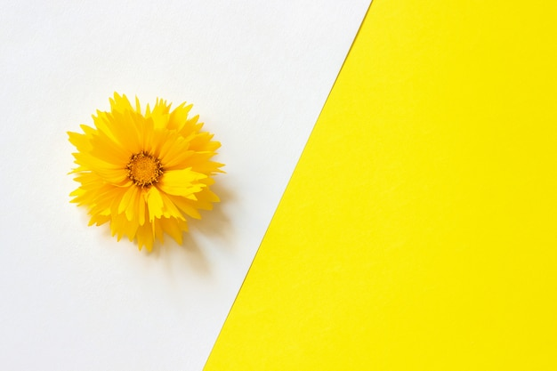 One yellow coreopsis flower on white and yellow paper background Premium Photo