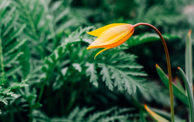 One yellow wild tulip against vivid green background Premium Photo