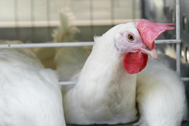 One young rooster on a poultry farm. Premium Photo