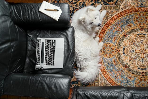 黒い革張りのアームチェア、カーペットの上にサモエド犬のラップトップを開きます。在宅勤務イラスト Premium写真