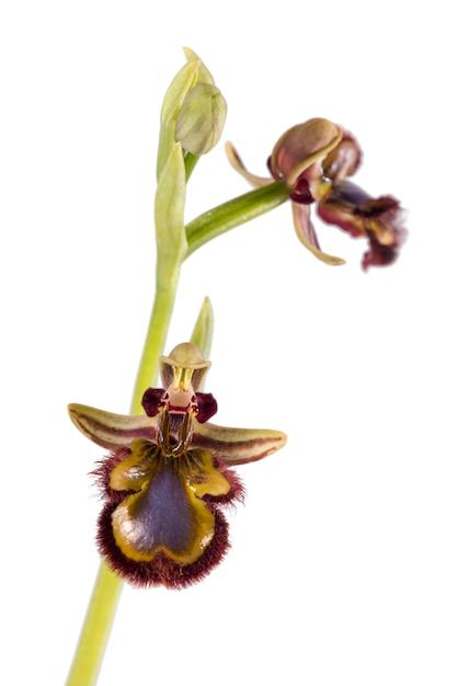 Зеркальная пчела орхидея (ophrys speculum) Premium Фотографии