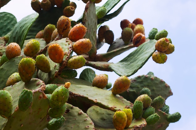Opuntia ficus-indica (prickly pear) plant Free Photo