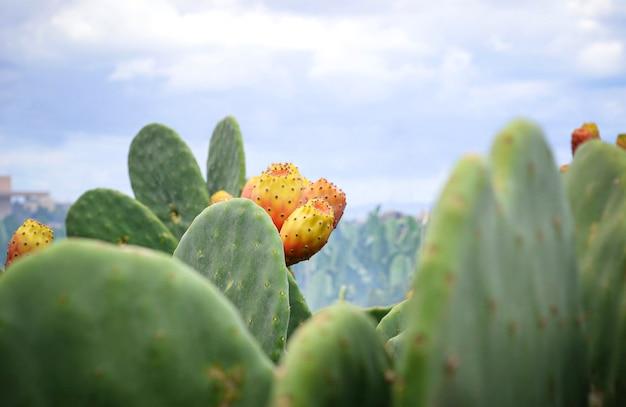 Opuntia ficus or prickly pear cactus with fruit Premium Photo