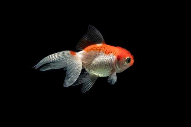 Оранжевый и белый dumbo betta splendens борьба с рыбой Бесплатные Фотографии