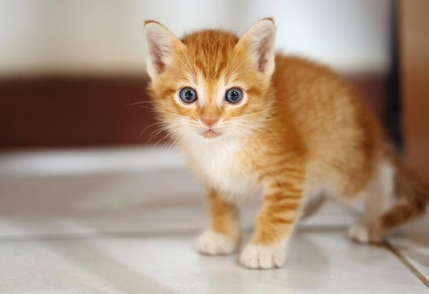 주황색과 흰색 태국 고양이, 1 개월, 집에 서. 프리미엄 사진