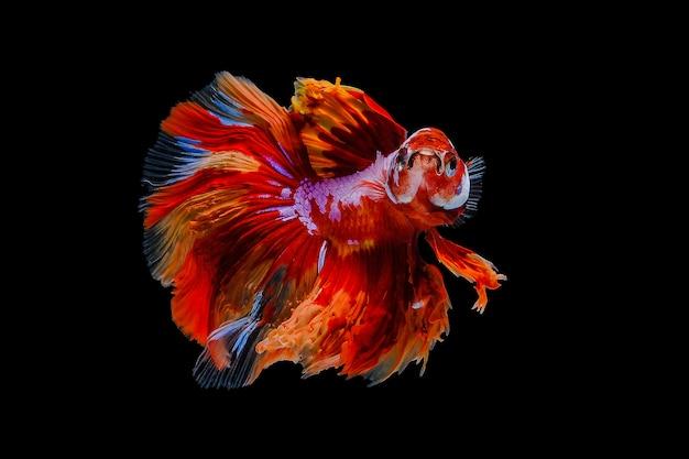 Orange betta fish Premium Photo