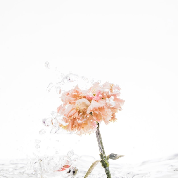 Orange carnation falling into water Free Photo