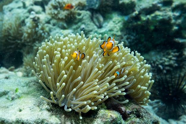 Orange clown fish Premium Photo