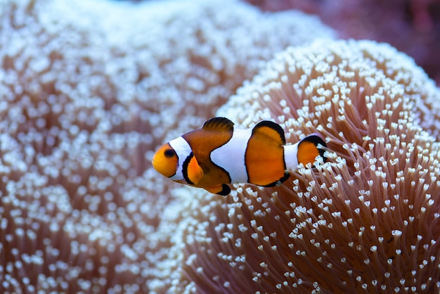 The orange clownfish amphiprion percula , swims among the corals in a marine aquarium. Premium Photo