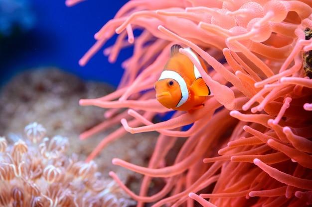 The orange clownfish amphiprion percula Premium Photo