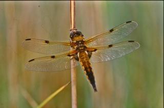 Orange dragonfly, yellow Free Photo