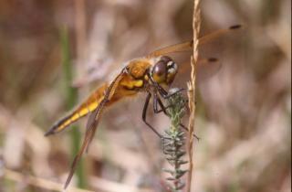 Orange dragonfly Free Photo