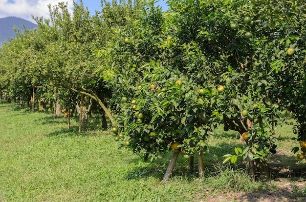 Orange fruit on its tree in the garden Premium Photo