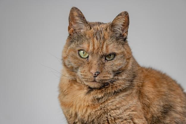 Orange grumpy cat on grey Free Photo