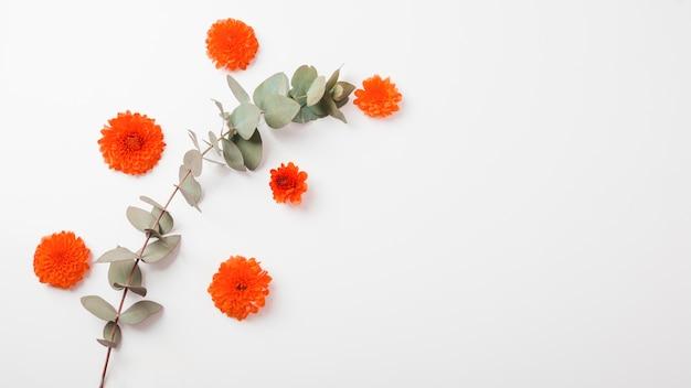 An orange marigold flowers and twig on white background Free Photo
