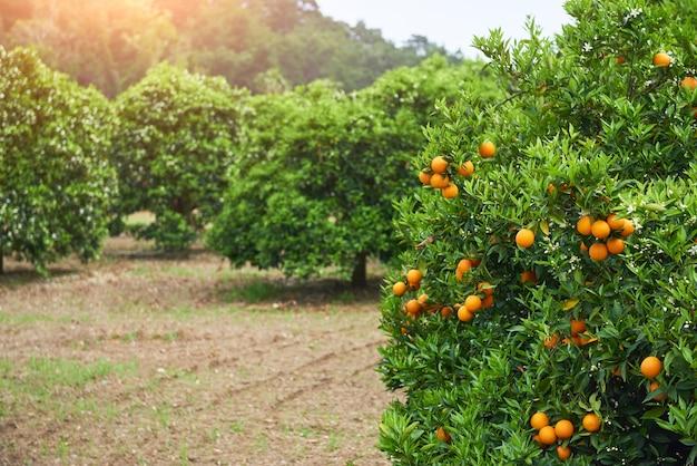 Апельсин - апельсиновое дерево апельсиновый парк. мир красоты Бесплатные Фотографии