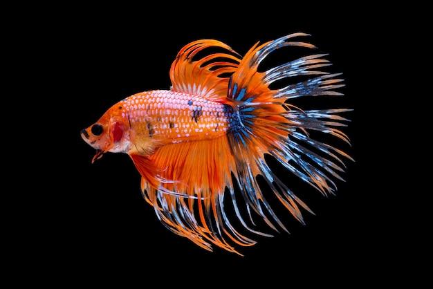 Orange siamese fighting fish Premium Photo