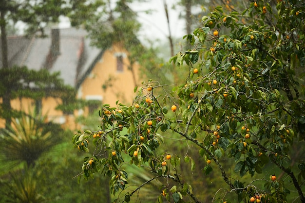 The orange tree with house at the background Free Photo
