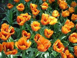 オレンジ色のチューリップの花オレンジ 無料写真