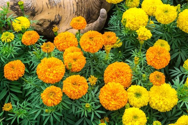 Orange and yellow marigold flowers Premium Photo