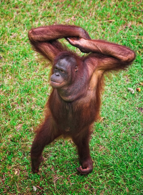 Orangutang portrait on green lawn Premium Photo
