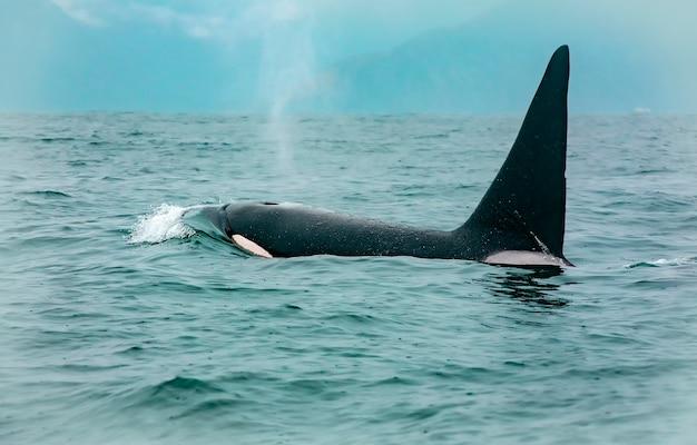 アシカを打つシャチのクジラ Premium写真