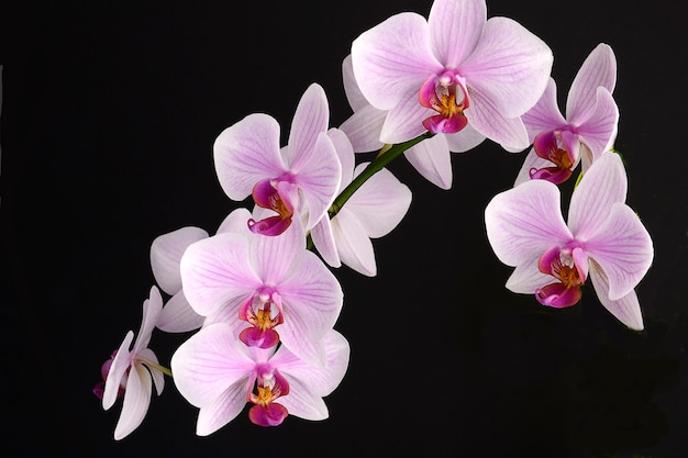Orchid flower on black background. pink phalenopsis Premium Photo