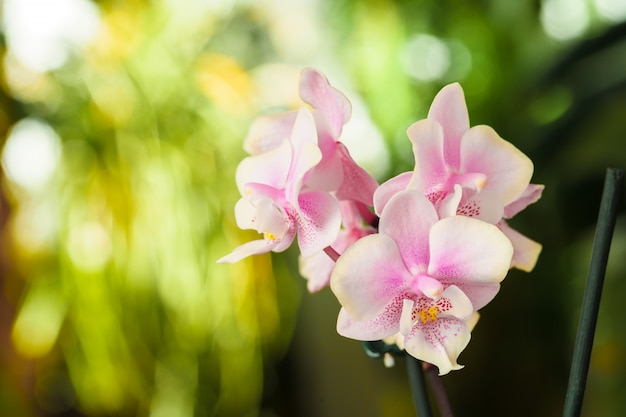 Orchid flower blossoms close up on blurred background. botanical garden Premium Photo