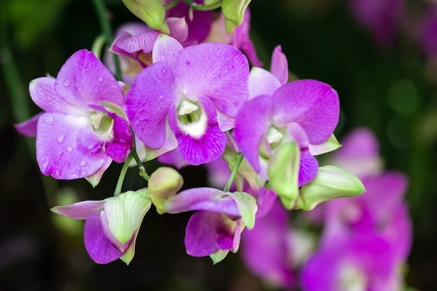 Orchid flower in orchid garden at winter or spring day for beauty and agriculture concept design. dendrobium orchidaceae Premium Photo