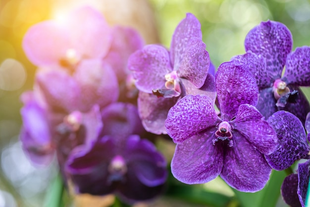 Orchid flower in orchid garden at winter or spring day for beauty and agriculture concept design. vanda orchidaceae. Premium Photo