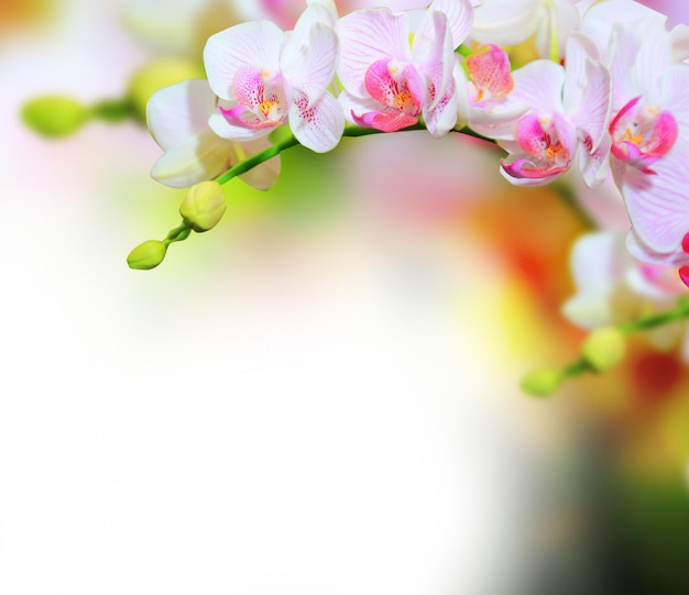 Orchid flowers background Premium Photo