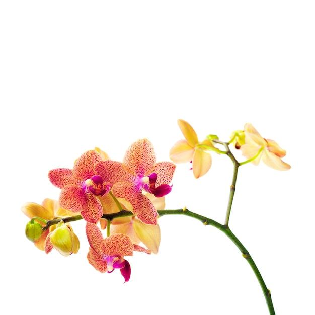 Орхидея, изолированные на белом фоне Premium Фотографии