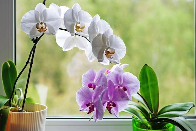窓枠の植木鉢に咲く蘭 Premium写真