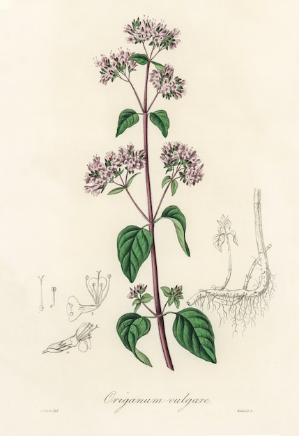 Oregano (origanum vulgare) illustration from medical botany (1836) Free Photo