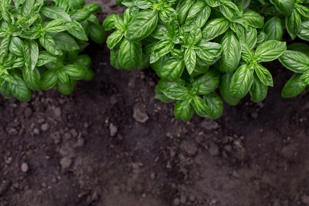 Organic green basil plant in the garden Premium Photo