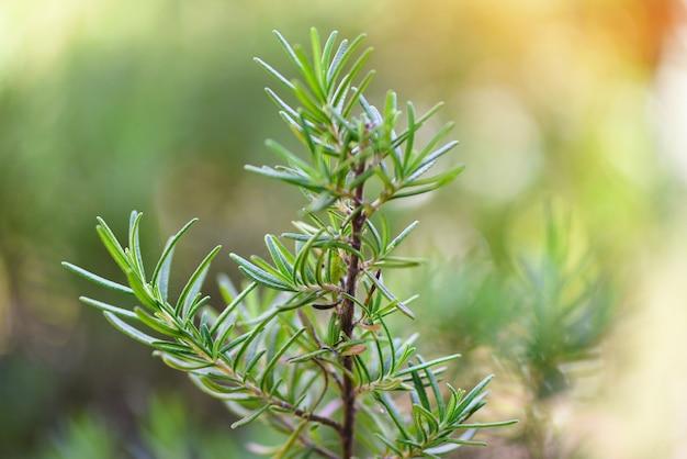 Органическое растение розмарина для экстрактов эфирного масла Premium Фотографии