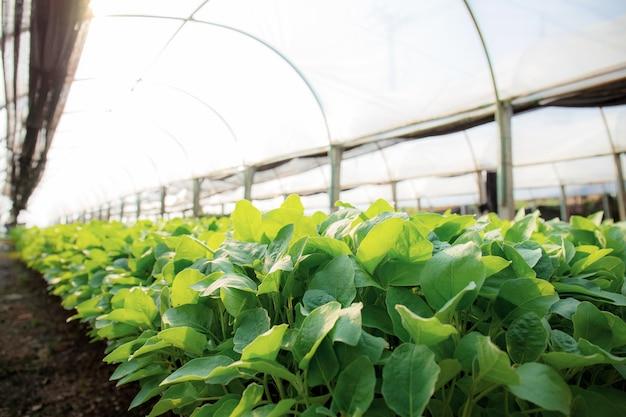 유기농 채소는 햇빛이있는 온실에서 자라고 있습니다. 프리미엄 사진
