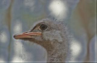 Ostrich, bird Free Photo