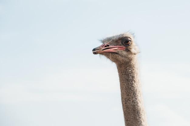 Голова страуса на фоне голубого неба. копировать пространство Premium Фотографии