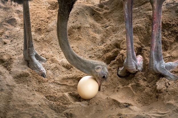 ダチョウは卵の世話をしています。 Premium写真