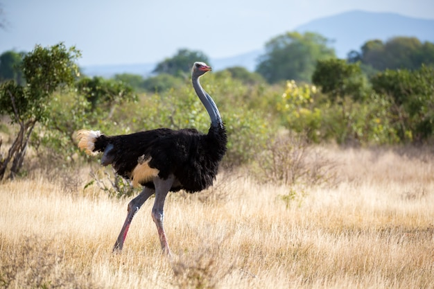 Ostrich in the landscape of the savannah in kenya Premium Photo