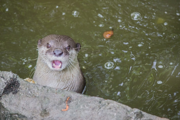 Otter in the water  Photo | Premium Download